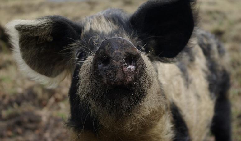 Schwein krafttier Krafttier: Finden